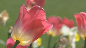 Tulips moving in the wind stock video