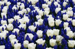 Tulips with muscari Stock Photography