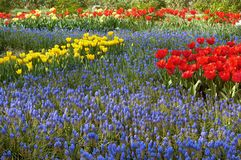 Tulips and muscari Stock Photos