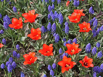 Tulips and muscari Stock Photography
