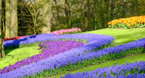 Tulips and muscari hyacinths facing the lake at Keukenhof Gardens, Lisse, South Holland. Photographed in HDR high dynamic range. Vibrant colour tulips and royalty free stock photo