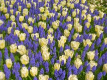 Tulips and muscari Royalty Free Stock Images