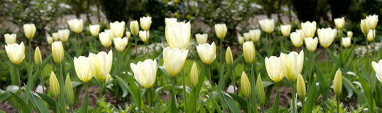 Tulips in my garden Royalty Free Stock Images