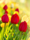 Tulips in my garden Stock Image