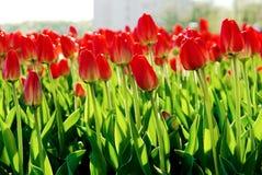 Tulips na cama de flor da cidade. Imagens de Stock