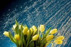 Tulips na chuva Foto de Stock Royalty Free