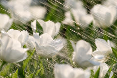 Tulips na chuva Imagem de Stock
