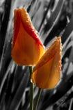 Tulips na chuva Fotos de Stock Royalty Free