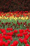 Tulips na mola Fotos de Stock Royalty Free