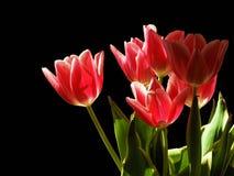 Tulips na noite Fotografia de Stock