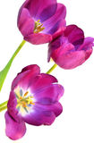 Tulips na primavera imagem de stock