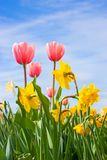 Tulips and Narciss Royalty Free Stock Image