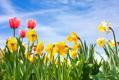 Tulips and Narcissus Royalty Free Stock Images