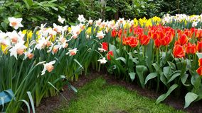 Tulips and narcissus Royalty Free Stock Photo