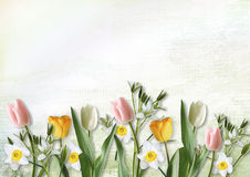 Tulips and narcissus on white background Stock Photo