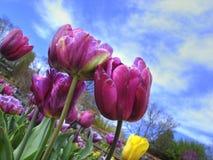 Tulips nas propriedades de Biltmore Fotografia de Stock Royalty Free