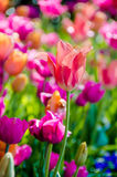Tulips in Nashville Stock Image