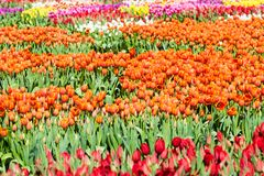 A field of Tulips - Orange with Yelllow Accents, Yellow, Purple, Royalty Free Stock Photography