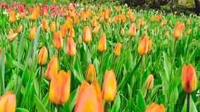 Tulips natural background. The camera moves back on the slider. Color correction. Tulips natural background. The camera moves back on the slider. Color stock video