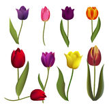 Tulips nature spring flower beautiful bouquet floral blossom vector illustration. Set different color realistic tulips isolated on white background. Tulips Royalty Free Stock Photography