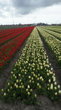 Tulips in Netherlands Stock Photo