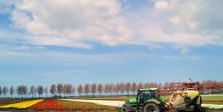 Tulips in the Netherlands (Dutch tulip). Dutch Tulip fields in springtime Royalty Free Stock Image