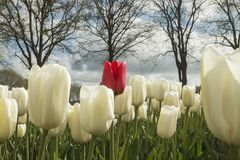 Tulips in The Netherlands stock photos
