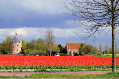 Tulips from the Netherlands. Land of tulips. Beautiful Tulips in the neighbourhood of lisse close to keukenhof Royalty Free Stock Photography