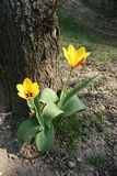 Tulips next to a tree. Two red and yellow tulip flowers next to a tree Royalty Free Stock Photography