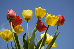 Tulips no céu azul Fotografia de Stock Royalty Free