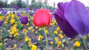 Tulips no campo Imagens de Stock Royalty Free
