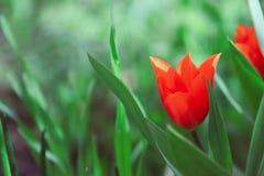 Tulips no campo foto de stock royalty free