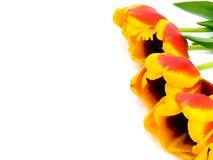 Tulips no fundo branco Foto de Stock