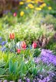 Tulips no jardim Fotos de Stock Royalty Free