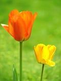 Tulips no jardim Fotografia de Stock Royalty Free