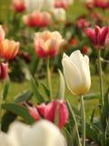 Tulips no jardim Imagem de Stock Royalty Free