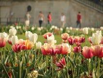 Tulips no jardim Imagens de Stock