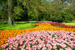 Tulips no jardim da mola Imagens de Stock Royalty Free