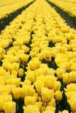 Tulips no sol Imagem de Stock Royalty Free
