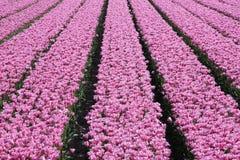 Tulips no sol Fotografia de Stock