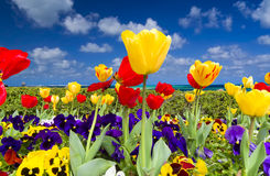 Tulips on the Ocean Stock Photography