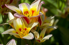 Free Tulips Of The Kaufmanniana Floresta Species. Royalty Free Stock Photo - 95584525