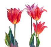 Tulips, oil painting Royalty Free Stock Photo