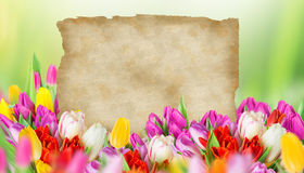 Tulips with old blank paper. Tulips over blurred green background, bouquet of spring easter flowers Stock Photos