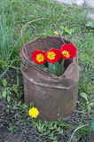 Tulips in a old bucket. Stock Photos
