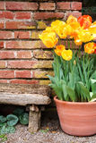 Tulips and old wall. Colorful spring tulips decorating old brick wall and bench royalty free stock images