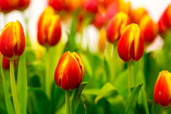 Tulips om the field Royalty Free Stock Photography