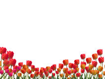 Tulips On A White Background. Clipping Path Stock Photo