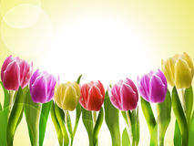 Tulips On A Yellow Backgorund Royalty Free Stock Photography