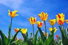 Tulips On Sky Stock Image